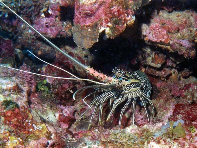 Panulirus versicolor (Painted spiny lobster) (Palinurus versicolor)
