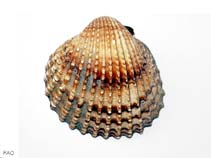 Image of Acanthocardia tuberculata (Moroccan cockles)