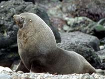 Image of Arctocephalus gazella (Antarctic fur seal)