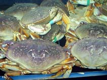 Image of Metacarcinus magister (Dungeness crab)