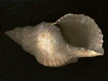 Image of Charonia lampas (trumpet shell)