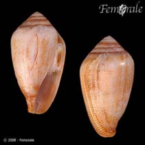 Image of Californiconus californicus (California cone)