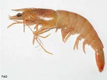 Image of Farfantepenaeus aztecus (northern brown shrimp)