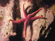 Image of Henricia sanguinolenta (blood sea star)