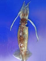 Image of Illex coindetii (shortfin squid)