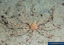 Image of Latreillia valida (banded arrow crab)