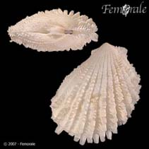 Image of Lima lima (spiny fileclam)