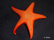 Image of Mediaster aequalis (red sea star)