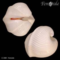 Image of Meiocardia vulgaris (ivory heart clam)