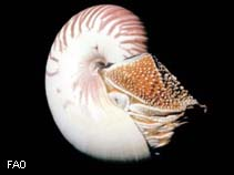 Image of Nautilus stenomphalus (white-patch nautilus)