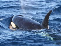 Image of Orcinus orca (killer whale)