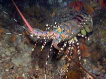 Image of Panulirus ornatus (ornate spiny lobster)
