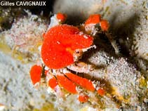 Image of Pelia mutica (cryptic teardrop crab)