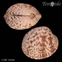 Image of Periglypta reticulata (reticulated venus)