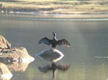 Image of Phalacrocorax carbo (great cormorant)