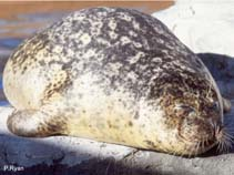 Image of Phoca vitulina (Harbour seal)