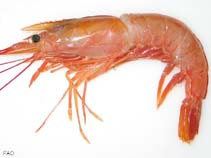 Image of Pleoticus muelleri (Argentine red shrimp)