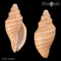 Image of Scaphella gouldiana (banded volute)