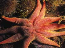 Image of Solaster endeca (Northern sun star)
