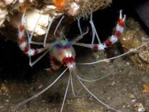 Image of Stenopus hispidus (banded coral shrimp)