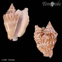 Image of Strombus raninus (hawkwing conch)