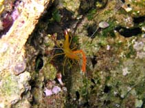 Image of Stenopus spinosus (golden coral shrimp)