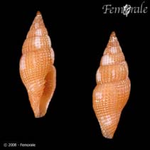 Image of Vexillum laterculatum (honeycomb miter)