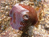Image of Actinia fragacea (strawberry anemone)
