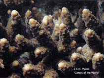 Image of Acropora japonica