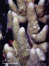 Image of Acropora monticulosa
