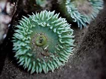Image of Anthopleura xanthogrammica (giant green anemone)