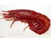 Aristaeopsis Edwardsiana Scarlet Shrimp Fisheries
