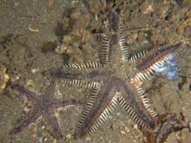 Image of Astropecten polyacanthus (brown spotted combstar)