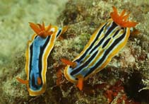 Image of Chromodoris strigata (strigate Chromodoris)
