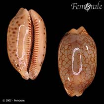 Image of Mauritia scurra (jester cowrie)