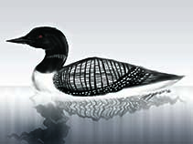 Image of Gavia immer (great northern diver)
