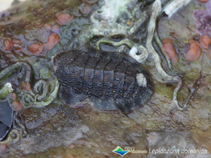 Image of Lepidozona coreanica (Korean chiton)