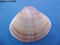 Image of Mactra stultorum (rayed trough-shell)