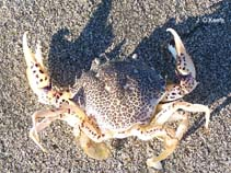 Image of Ovalipes ocellatus (ocellate lady crab)
