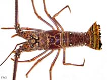 Image of Panulirus argus (Caribbean spiny lobster)
