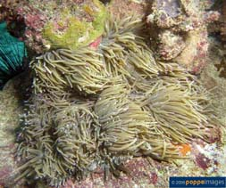 Image of Macrodactyla doreensis (corkscrew tentacle sea anemone)