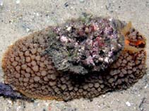 Image of Umbraculum umbraculum (Atlantic umbrella slug)